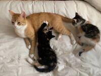 British blue cross kittens
