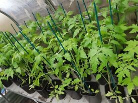Tomato plants £2 each or 3 for £5