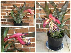 Bromeliad Billbergia Plant  ??? Eastwood Ryde Area Preview