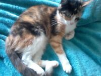 Young female tortoiseshell cat found, from Shirebrook.