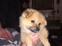 3 fluffy pomeranian puppies for sale 695 ONO