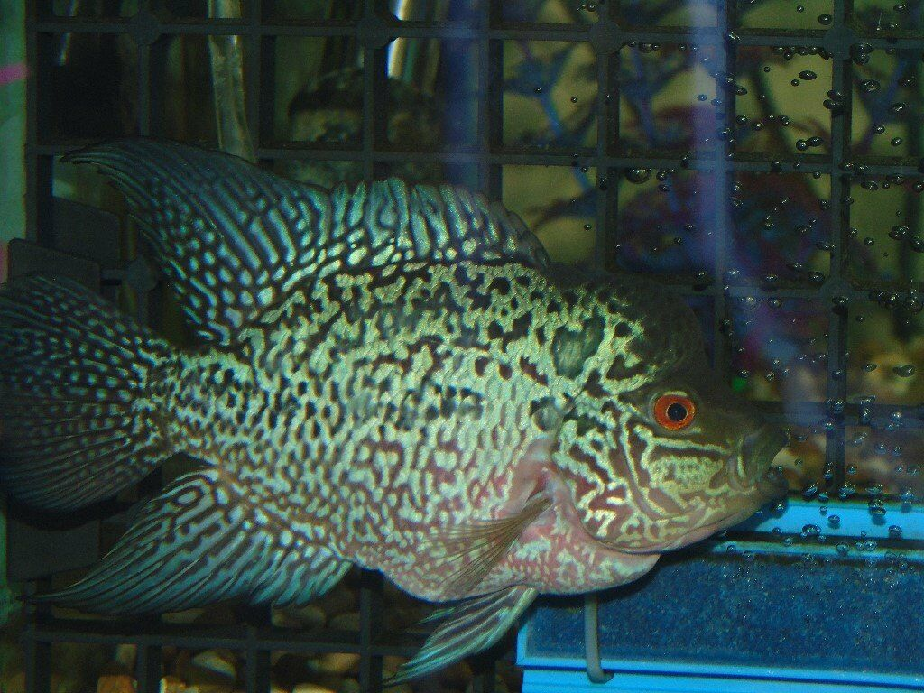 7 electric blue flowerhorn tropical fish in west park for Flowerhorn fish for sale