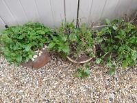 Mint plants in plant pots