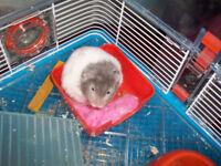 fluffy hamster for sale