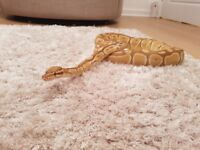 Caramel albino. Royal python