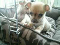 Micro tea cup chihuahuas for sale
