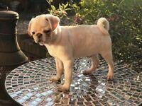Stunning Cream KC pedigree Pug puppy READY NOW!!