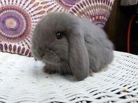 Adorable mini lop rabbits
