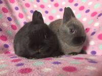 Two little girls baby Netherland Dwarf Rabbits