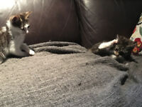 Gorgeous Kittens - Ready to go