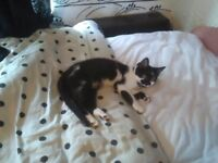6 MONTH OLD HEALTHY FEMALE KITTEN FOR SALE HAD EVERYTHING DONE WANT £160 O.N.O
