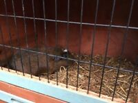FREE Male Guinea Pig - 10 Months Old