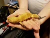 4no. Leopard geckos for sale tug tangerine
