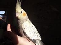 Hand reared baby cockatiels