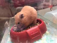 Two male hamster Siberian&Russian dwarf
