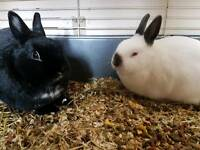 2 adorable Netherland dwarf bunnies