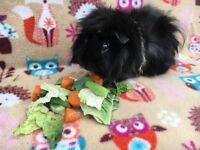 **Guinea Pig** Fuzzy adult male guinea pig!