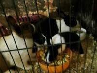 Dutch baby rabbits bunnies