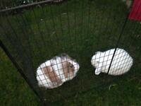 Pair of rabbits with hutch and all feeding accessories