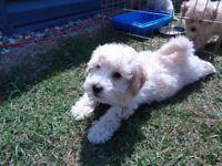 cavapoo puppies 8 weeks old