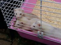 Ferret kits for sale 12 weeks old handled daily £5 each (no delivery). Bassaleg Newport