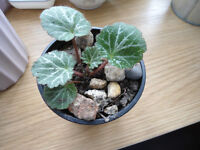 A strawberry begonia plant in a 9 cm pot with 4 teaspoons of water kefir grains