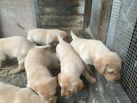 Pedigree Fox Red Labrador Pups for sale KC Reg.