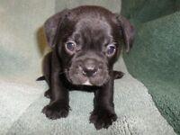 Frug puppy