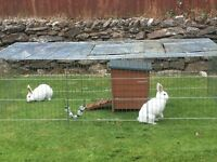 2 white rabbits with accessories for sale