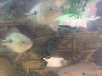 tropical Mida for fish tank aquarium wembley kof
