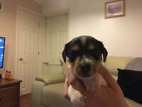 jack russel boy puppy for sale due to someone backing out .DONT MISS OUT
