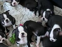 Boston terriers kc reg Liverpool blood lines 5 boys ready to leave now