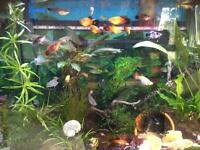 Platys and guppies 20p each