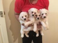 Bichon frise pupies for sale