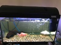 Fish tank - complete set up with 1 golden fish