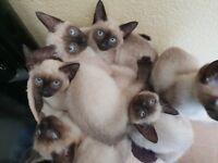 For sale beautiful Siamese kitten