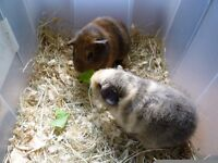 Beautiful baby guinea pigs.