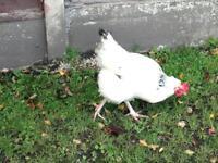 Warren hens and light Sussex hen
