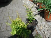Two pots of Lonicera Nitida `Baggesen's Gold' plants