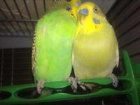 Two lovely budgies with cage and food