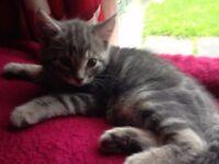 2 kittens 1 grey 1 dark tabby