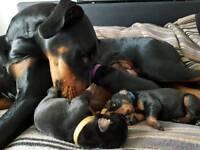Doberman Puppies. Stunning breed standard with amazing temperament