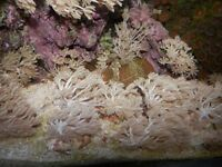 MARINE AQUARIUM PULSATING XENIA FRAGS FOR SALE £3 EACH