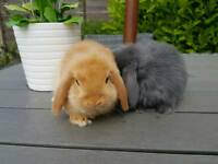 Orange female mini lop