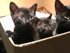 Adorable black kittens for sale!