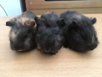 Baby Swiss guinea pigs for sale
