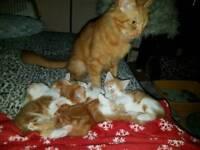 4 adorable 8 week old ginger kittens for sale