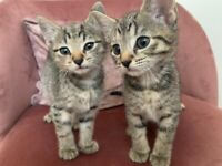 2 beautiful Grey Tabby kittens left!