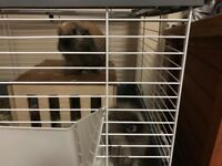 Two beautiful rabbits and 120cm indoor cage £50