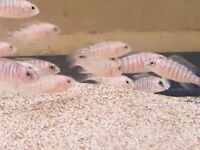 """Malawi Peacock Fry £2.50p each 10 for £20, all onver 1.5"""""""